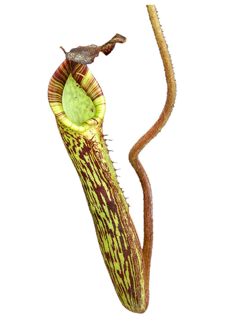 Nepenthes fusca BE-3068