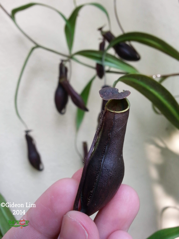 Nepenthes gracilis - Bau Sarawak