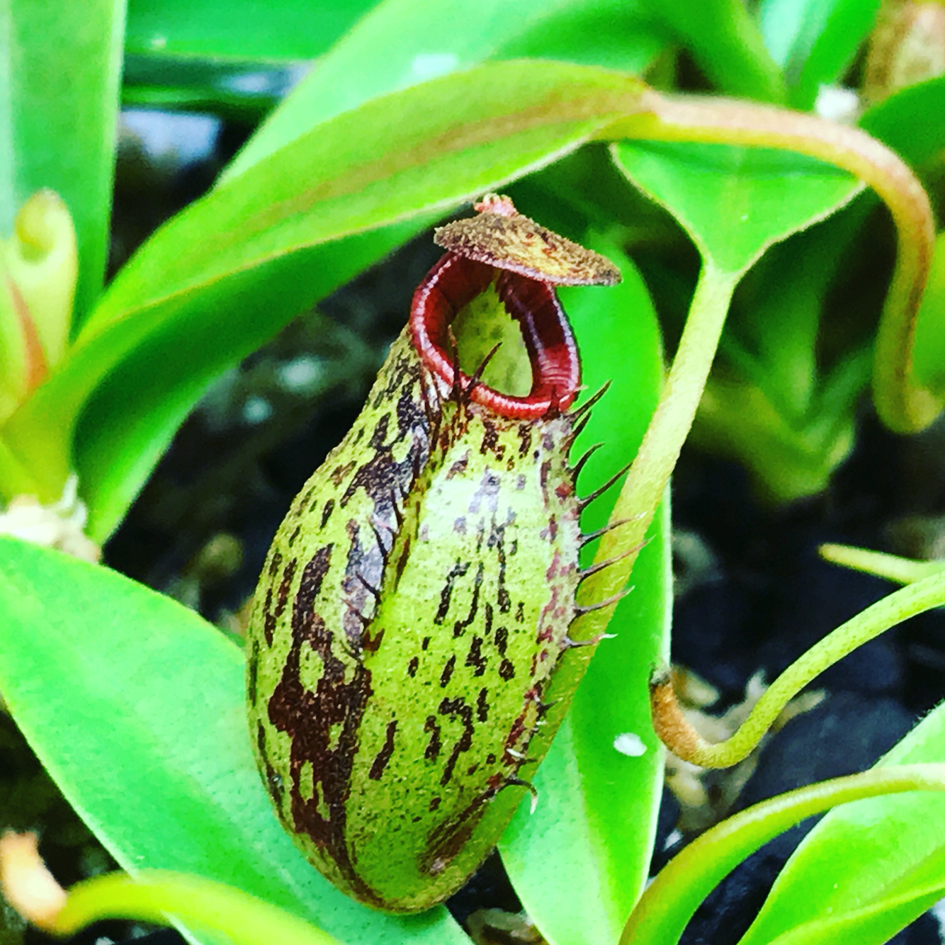 Nepenthes spectabilis x aristolochioides BE-3663