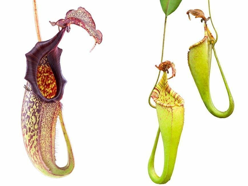 Nepenthes maxima BE-3067 (Medium)