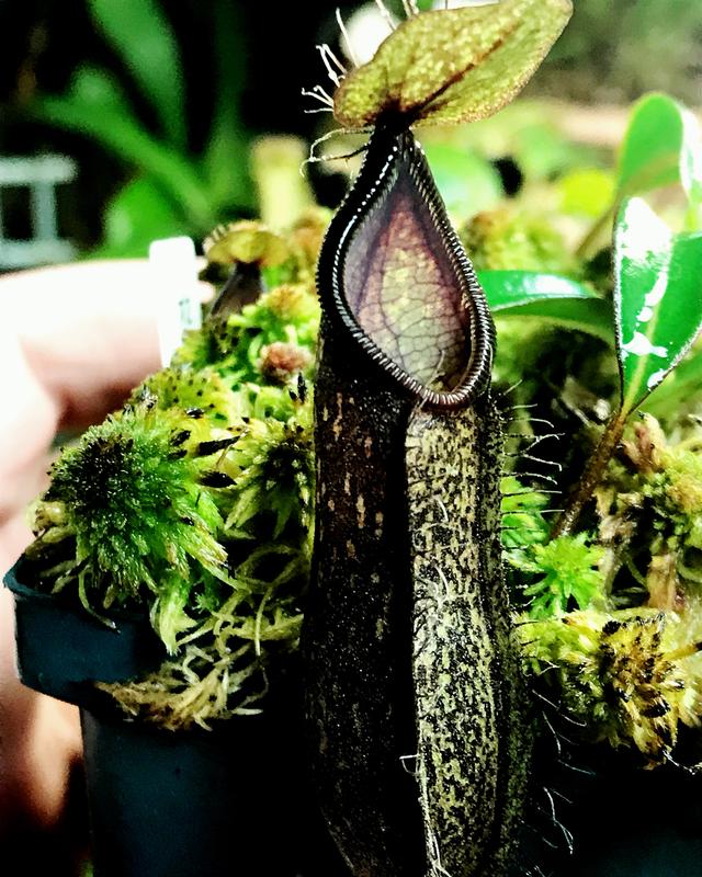 Nepenthes nigra