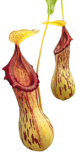Nepenthes burkei - Large Plants!