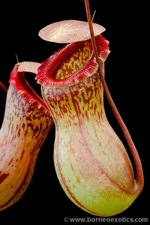 Nepenthes ventricosa -