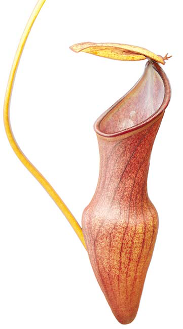 Nepenthes pervillei BE