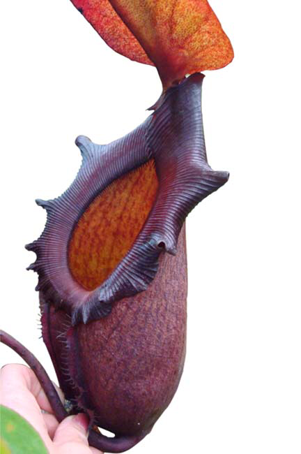 Nepenthes rajah BE-3152