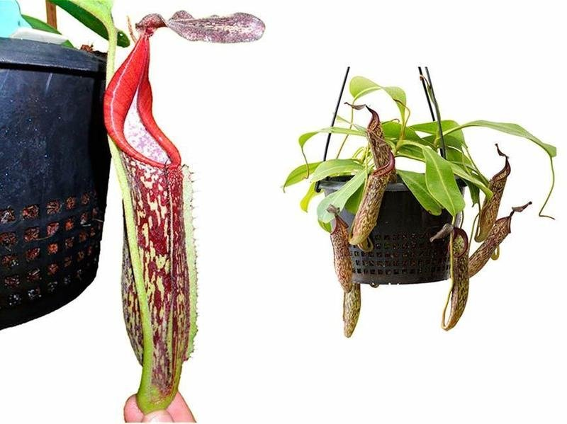 Nepenthes fusca BE-3465 Mamut form (Medium)