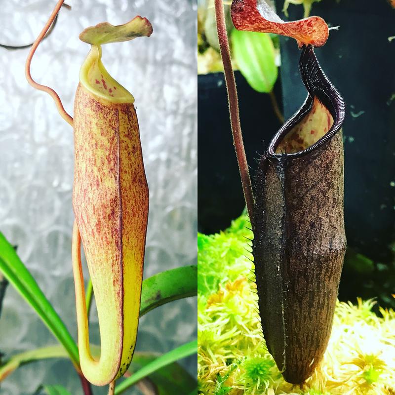 Nepenthes alba (Medium)
