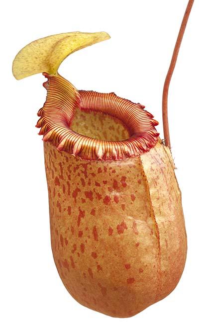 Nepenthes sibuyanensis BE-3164