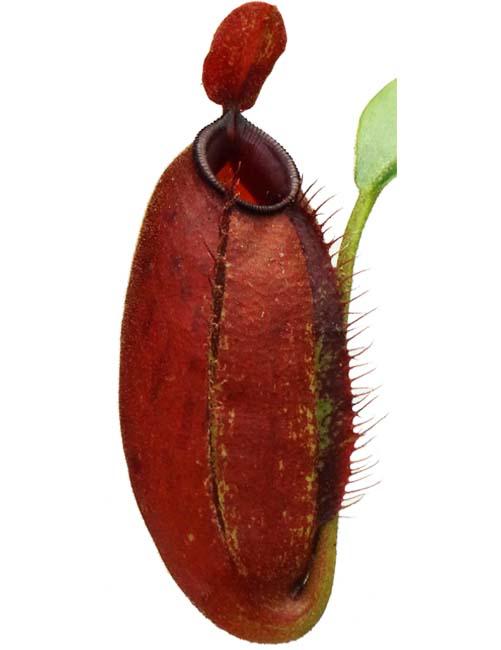 "Nepenthes ampullaria x aristolochiodes ""red form"" -Medium"