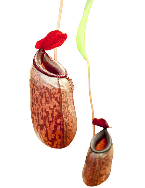 Nepenthes aristolochiodes x ventricosa BE-3447 -Super Nice!