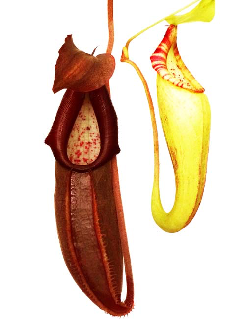 Nepenthes bongso BE-3036