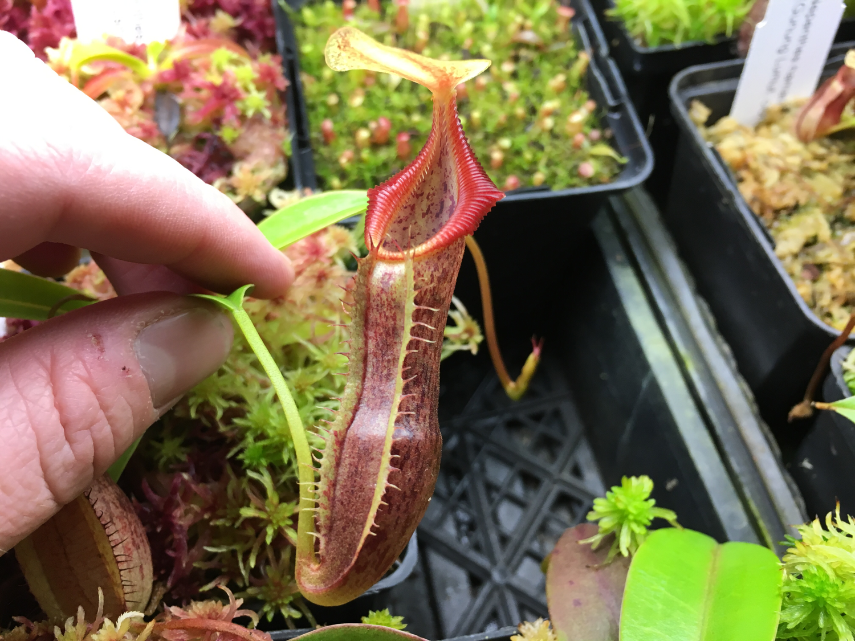 Nepenthes singalana BE-3170 (Medium)