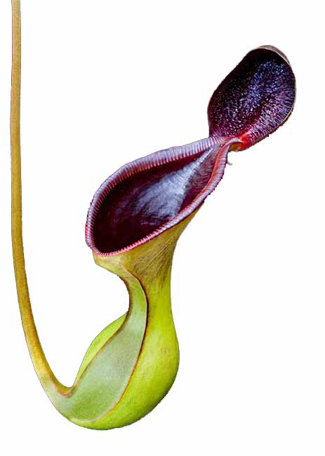 Nepenthes lowii BE-3100