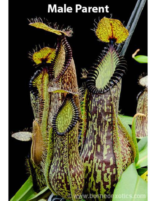 Nepenthes spectabilis x hamata BE- 3871
