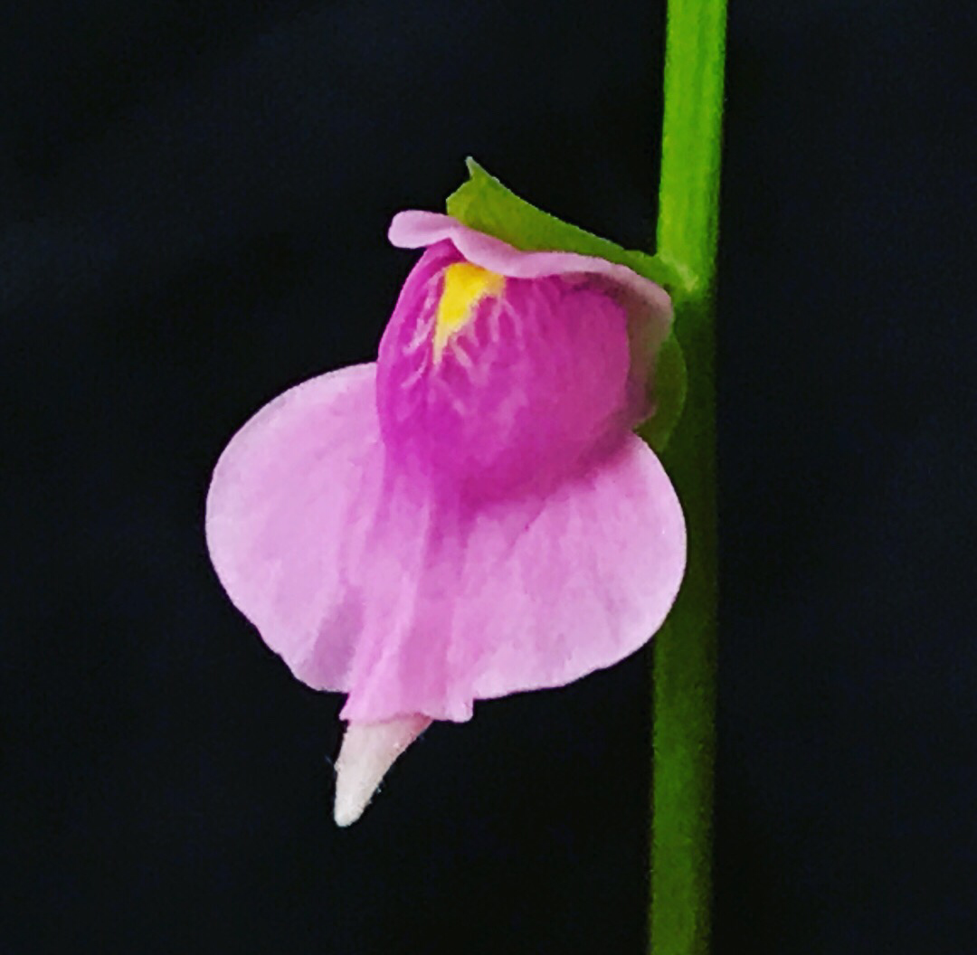 Utricularia calycifida cv. Asenath Waite