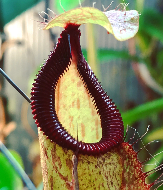 Nepenthes Globosa x hamata (Medium)