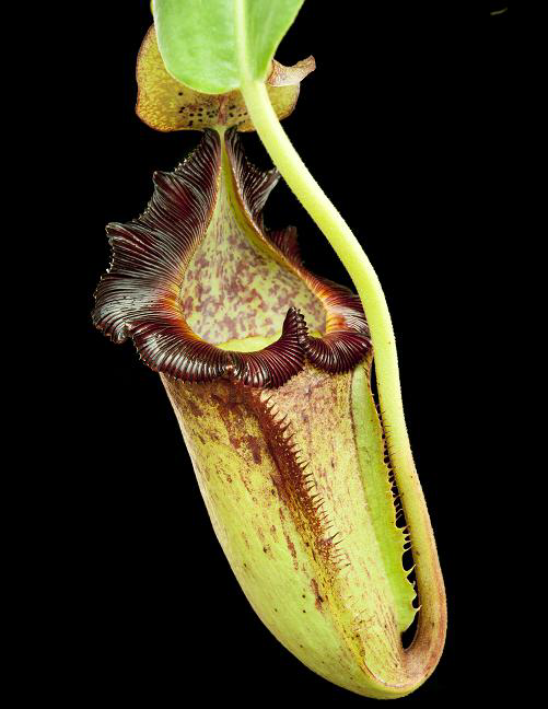 Nepenthes maxima x trusmadiensis (macrophylla x lowii) BE- 3709