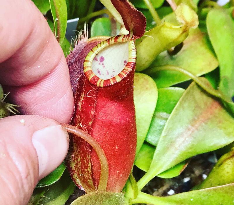 Nepenthes ampullaria x (spectabilis x talangensis)