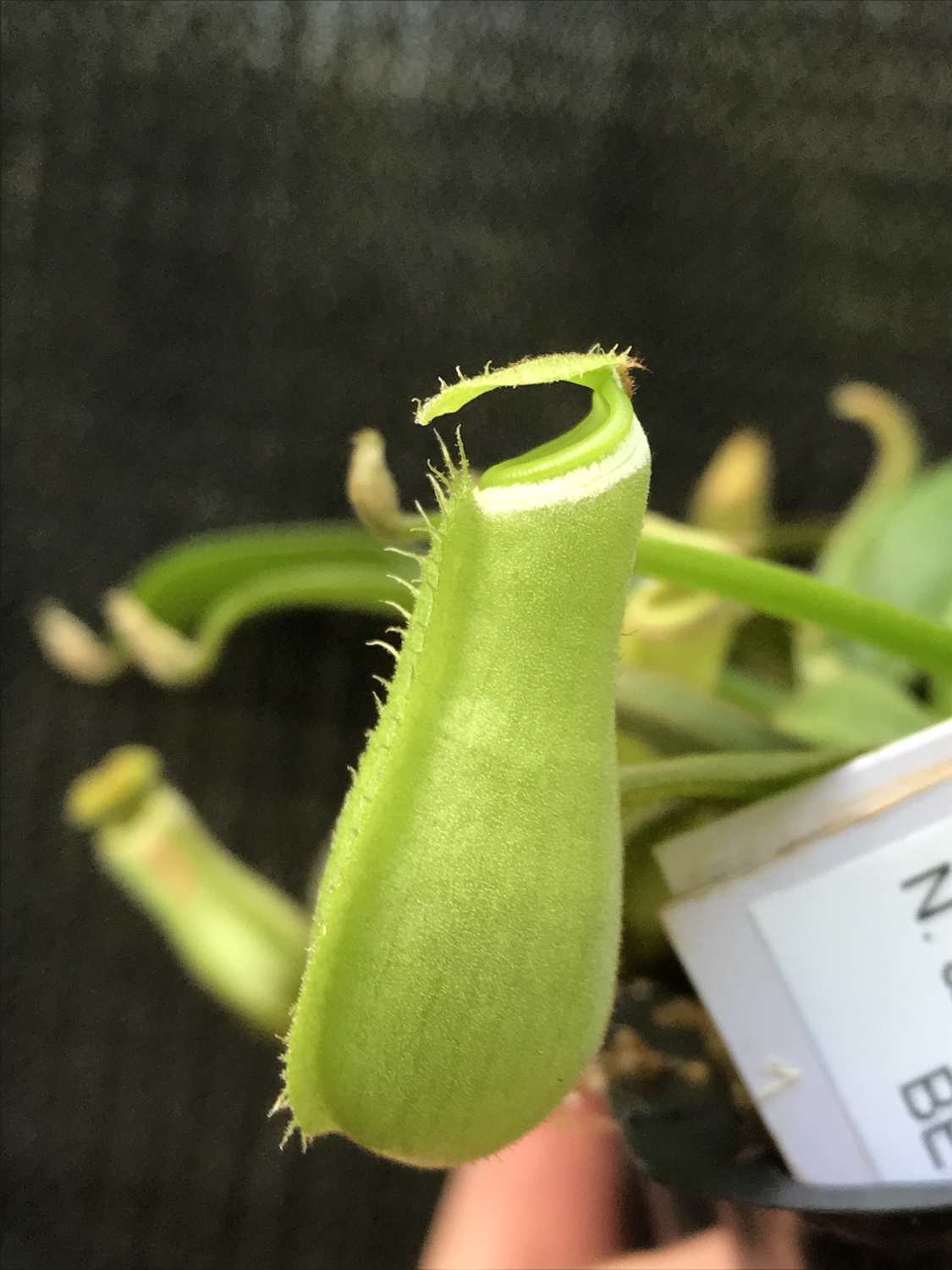 Nepenthes albomarginata BE-3004