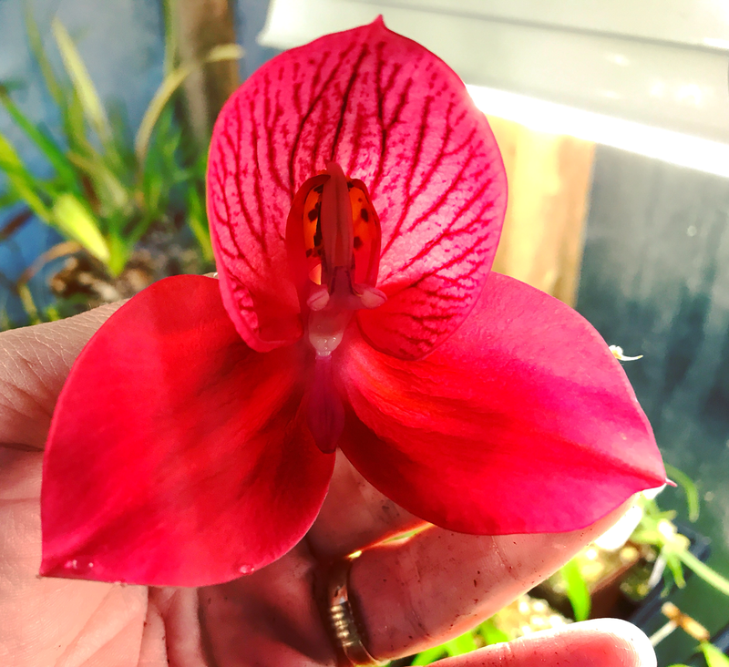 Disa Orchid Diablo Lighting x uniflora