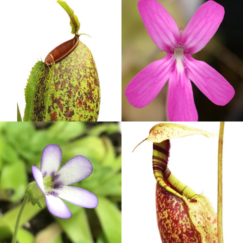 Ultimate Beginners Carnivorous Plant Starter Kit 2.2