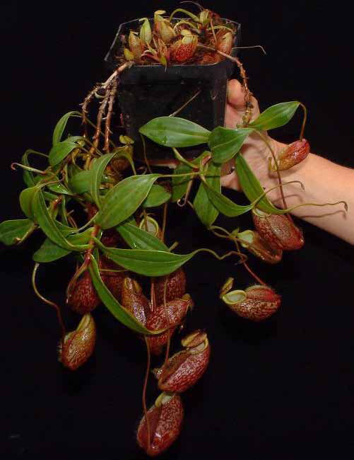 "Nepenthes gymnamphora ""Talakmau "" BE-3078"