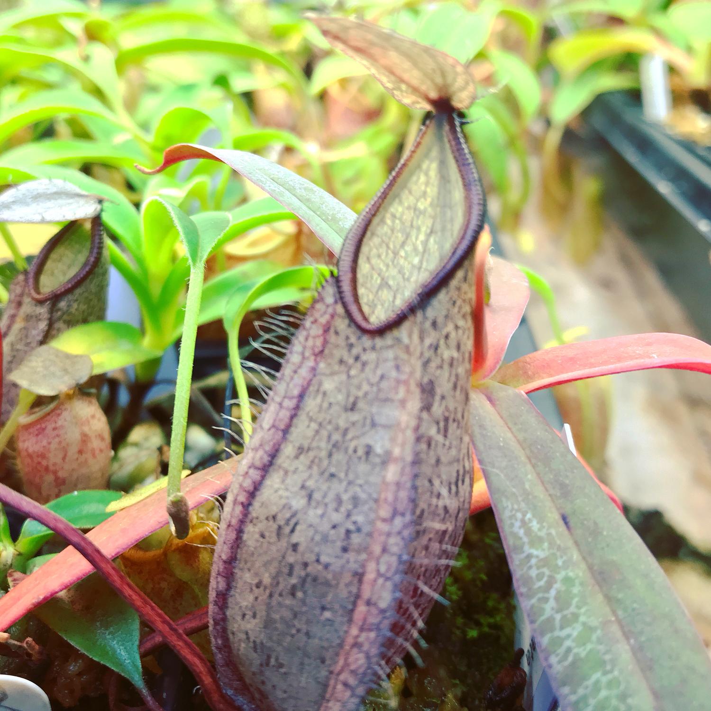 Nepenthes tentaculata Gunung. Tambusisi form BE-3870 Big Plants!