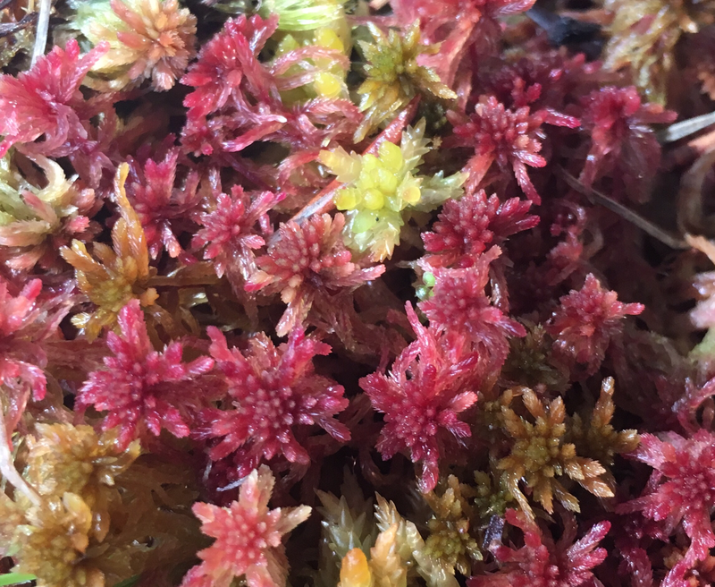 Live  Red/ Brown/ Green Species Sphagnum Moss mix
