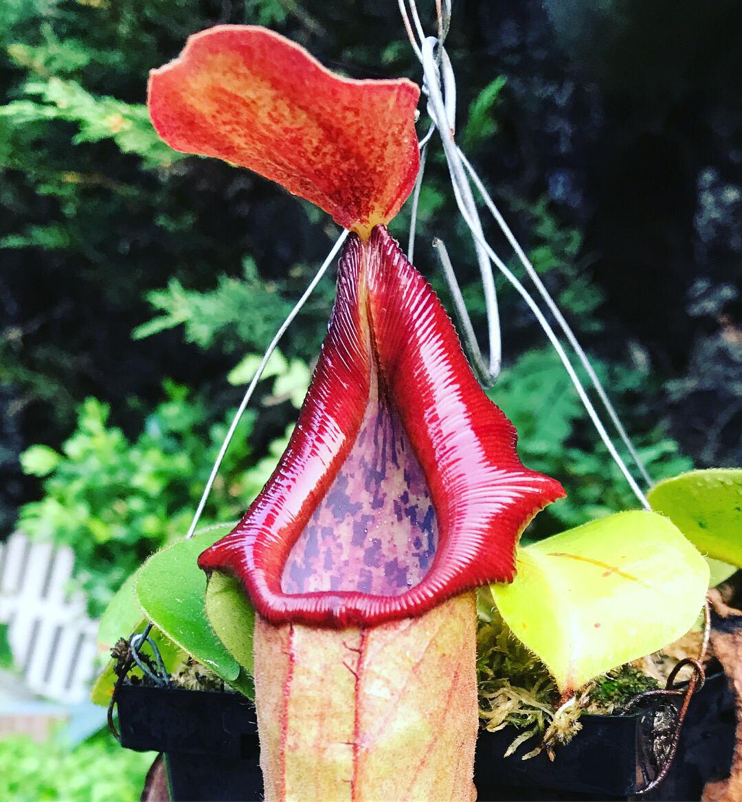 Nepenthes truncata Highland Pasian