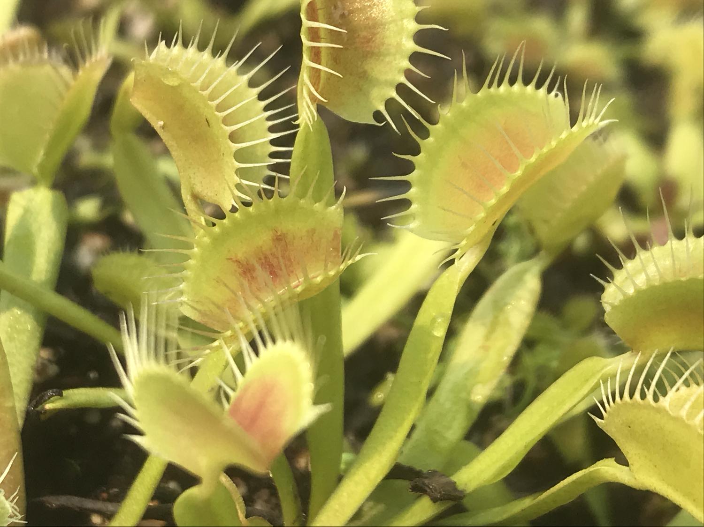 Dionaea muscipula Assorted Green Forms Venus Flytrap (small)