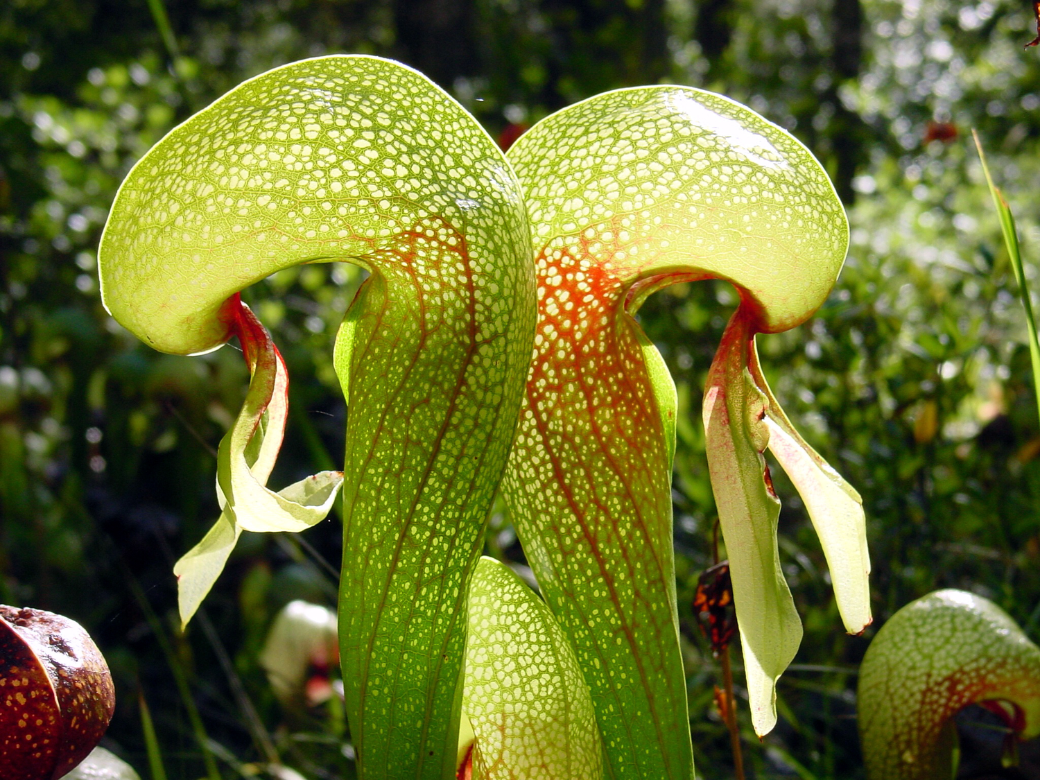 "Darlingtonia californica  ""Cobra Lily""- small w/ mixed Pitchers"