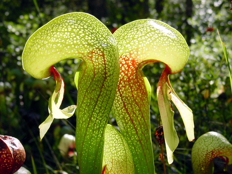 "Darlingtonia californica  ""Cobra Lily""- juvenile plant"