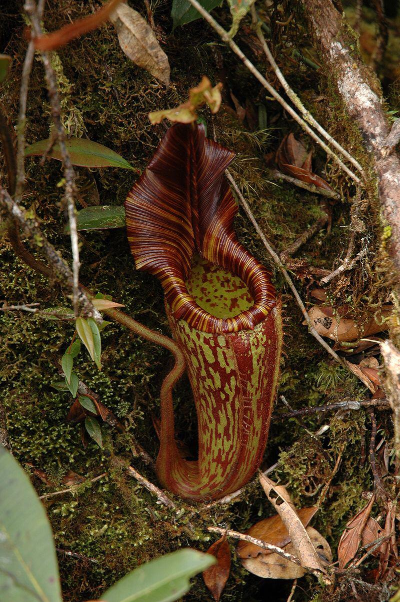 Nepenthes mollis (hurrelliana)