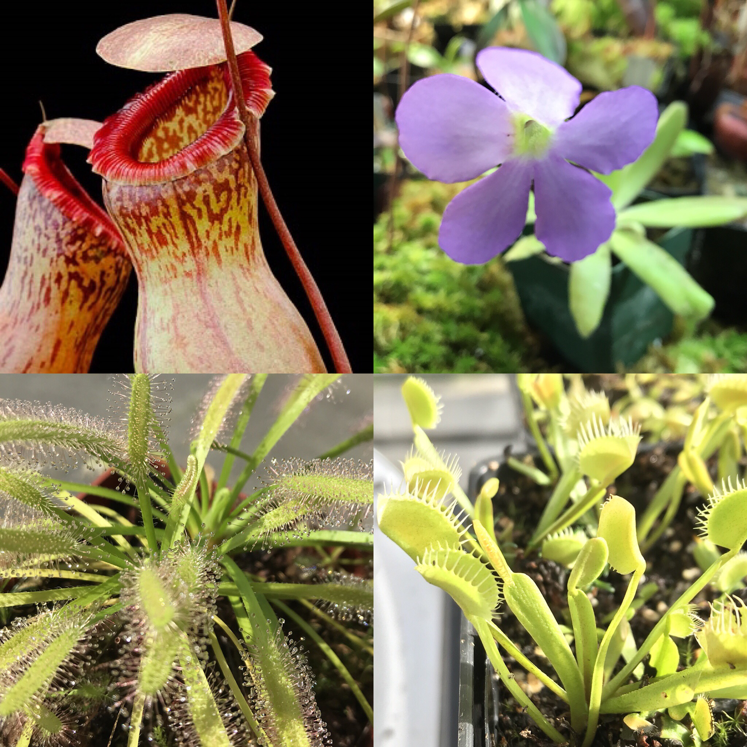 Basic Beginners Carnivorous Plant Starter Kit 5.2