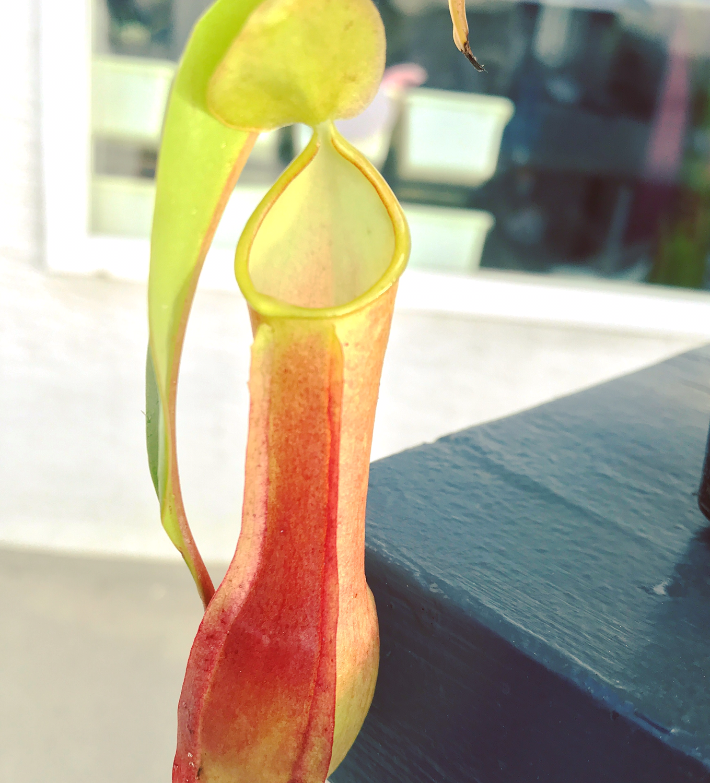 Nepenthes reinwardtiana
