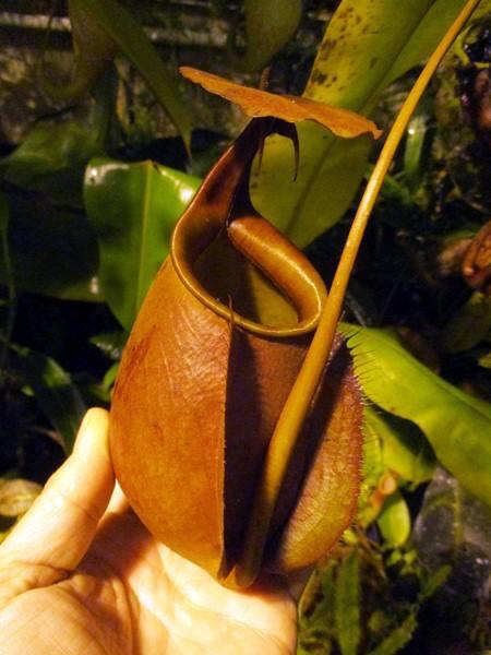 """Nepenthes bicalcarata """"Sarawak Giant"""" BE- 3682"""
