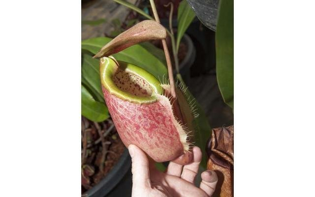 Nepenthes merrilliana BE-3727 (Medium)
