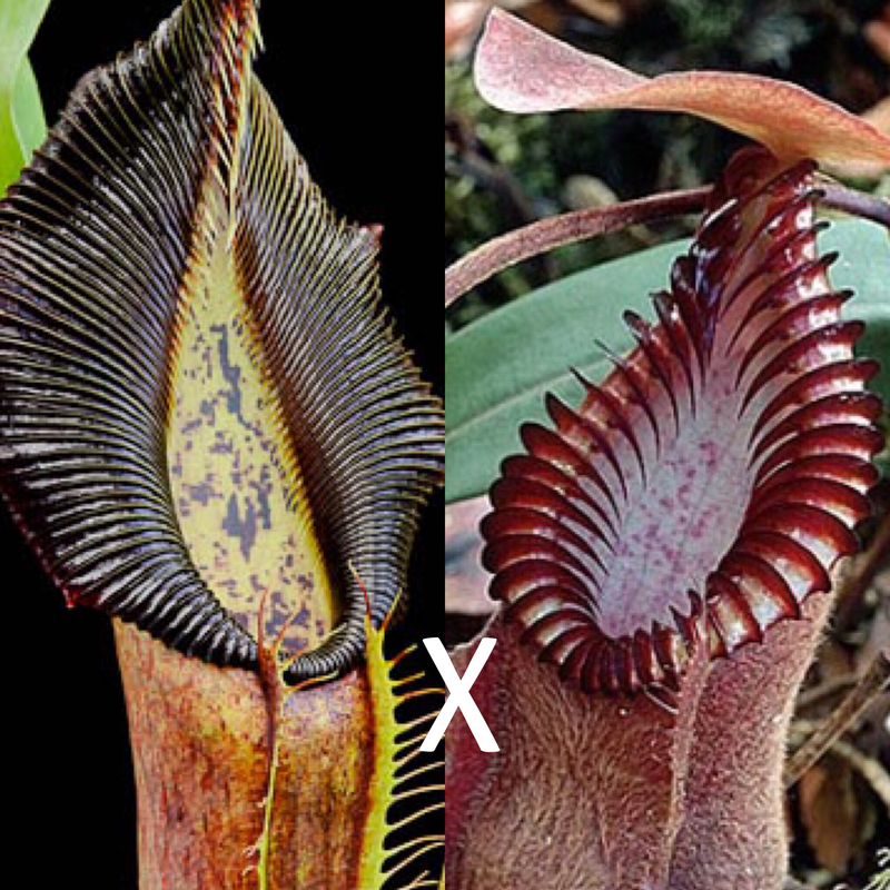 Nepenthes singalana x Red Hairy hamata BE-3890 Big Plants!