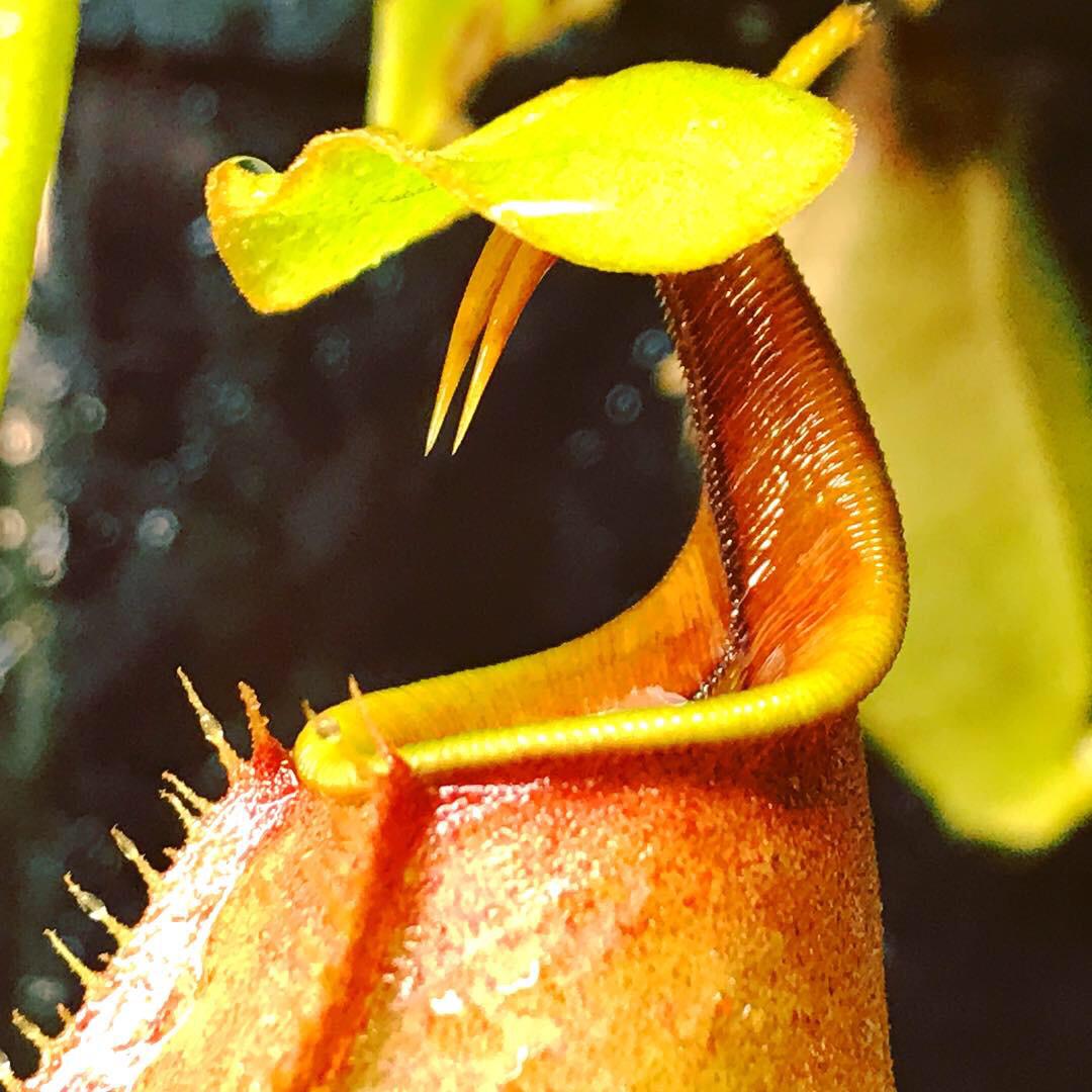 Nepenthes bicalcarata BE-3029 'Brunei Orange'