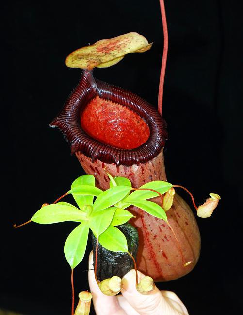 Nepenthes ventricosa x sibuyanensis BE-3757