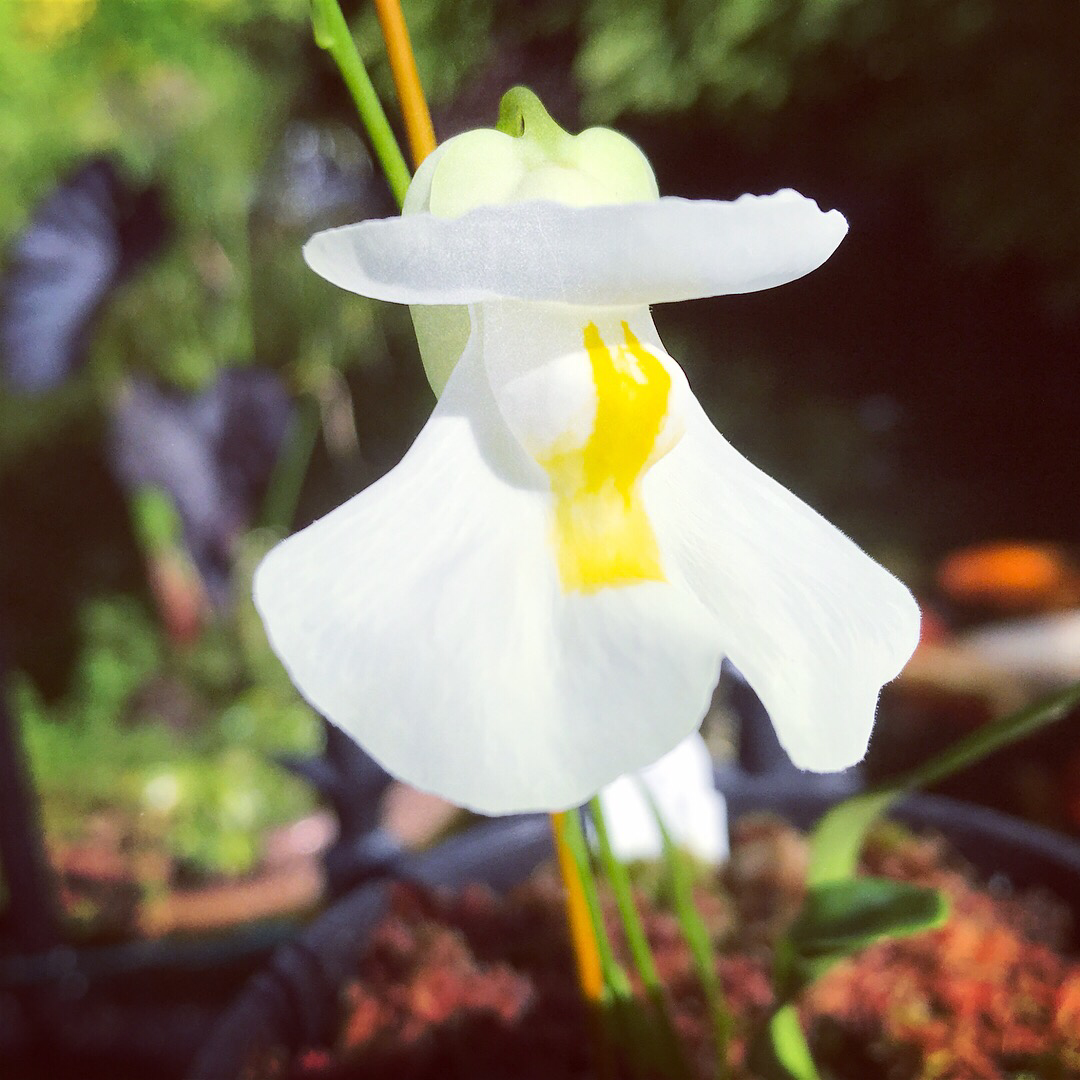 "Utricularia alpina ""Henry Pittier"""