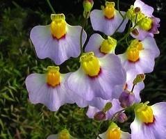 """Utricularia bisquamata """"Betty's Bay"""""""