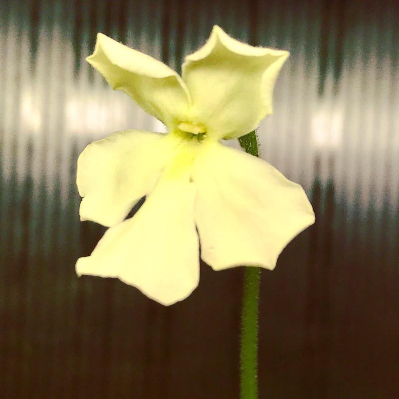 Pinguicula cv. Golden eye Butterwort