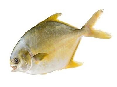Golden Pomfret 金鲳鱼(一条)