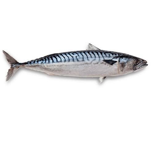 Spanish Mackerel (1 Count) 马鲛鱼 (1只)