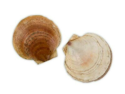 Sea Scallops in Shell ( 1Count) 扇贝 (1个)