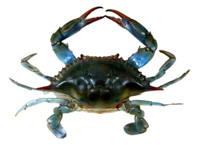 Louisiana Blue Crab (4 to 6 Count) Louisiana青蟹 (4-6只)