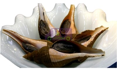 Conch 活响壳螺(1.2-1.4LB)