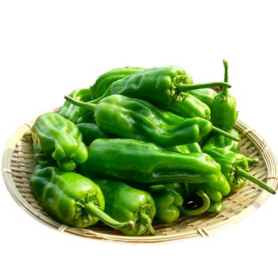 Pan-Seared Green Chili Pepper 虎皮辣椒(少辣)0.9 - 1.1LB