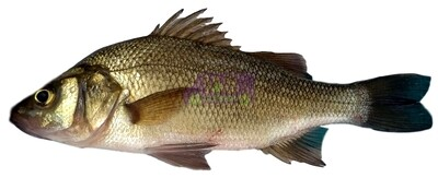 Fresh White Perch(一份) 新鮮青花鱼(一份)